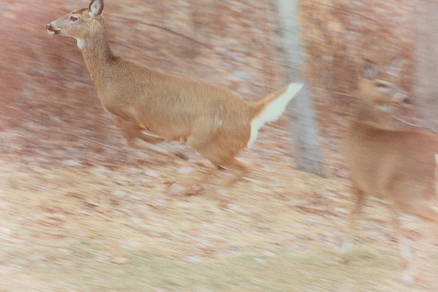 Deer On The Run Photograph