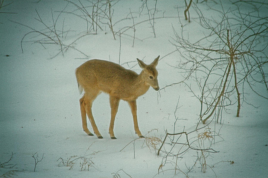 Deer Winter Photograph  - Deer Winter Fine Art Print