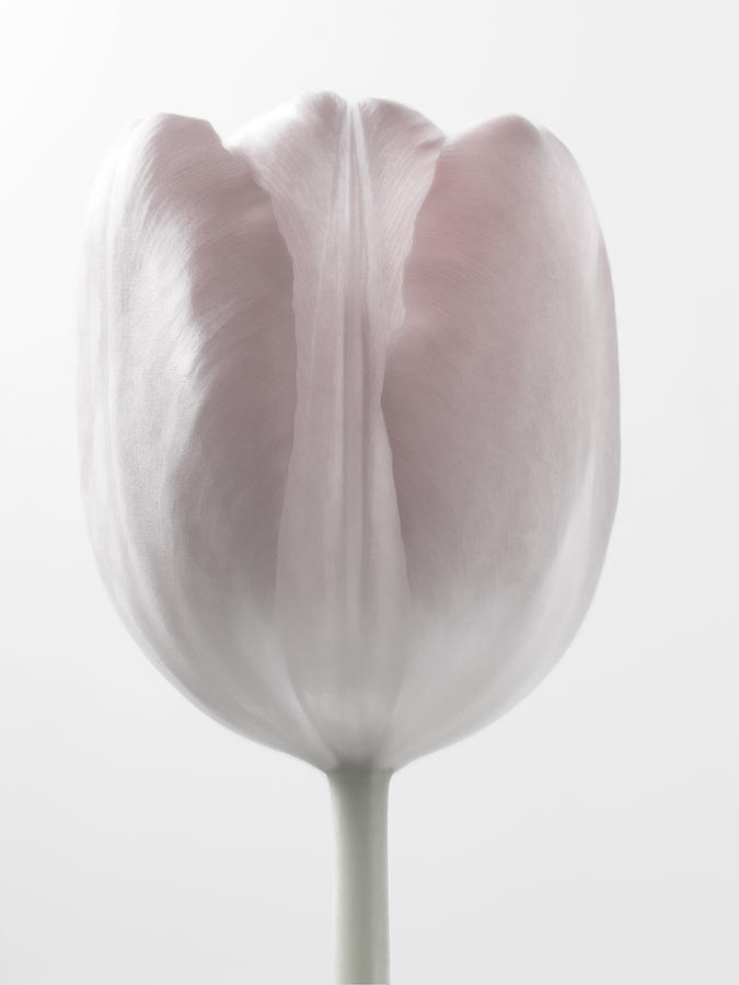 Delicate - White Tulips Macro Flowers Fine Art Photography Photograph  - Delicate - White Tulips Macro Flowers Fine Art Photography Fine Art Print