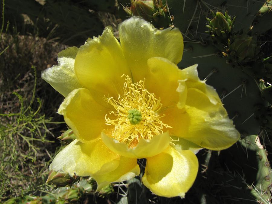 Delicate Desert Flower Photograph