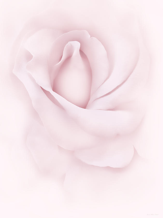 Delicate Pink Rose Flower Photograph