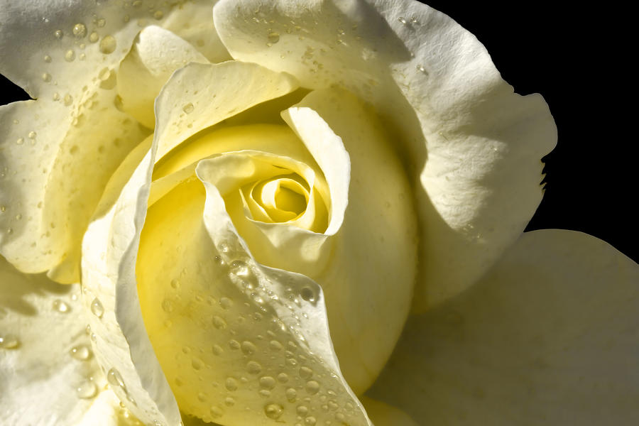 Delightful Yellow Rose With Dew Photograph