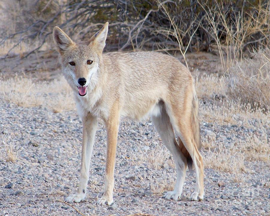 Desert coyote pictures - photo#1