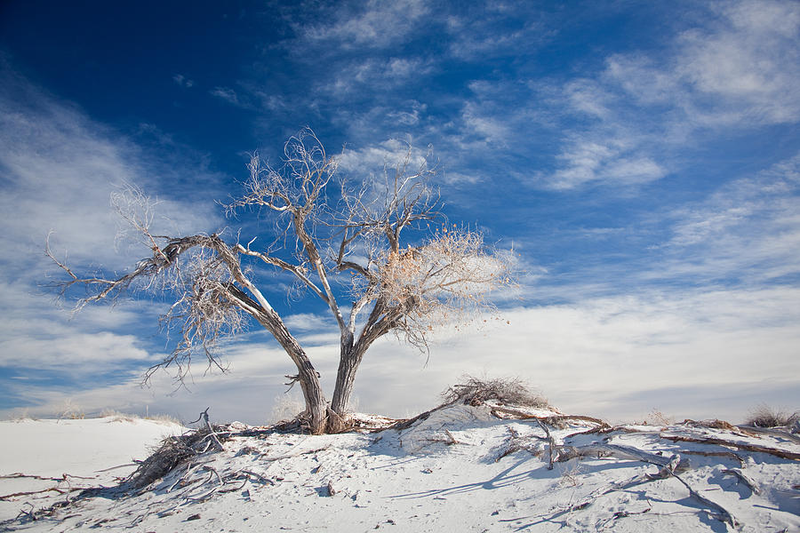 Desert Tree In White Sands   - Desert Tree In White Sands Fine Art Print
