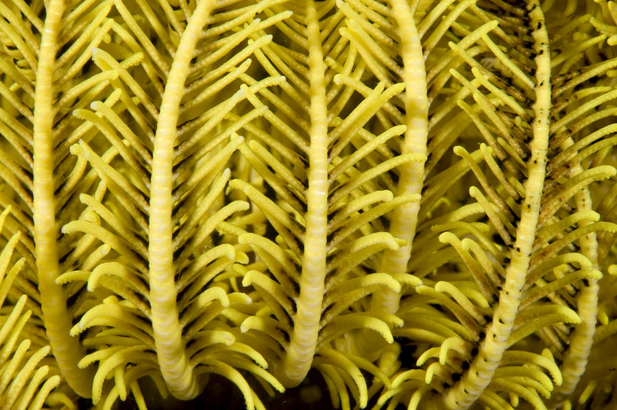 Detail Of A Crinoid Feather Star Photograph  - Detail Of A Crinoid Feather Star Fine Art Print