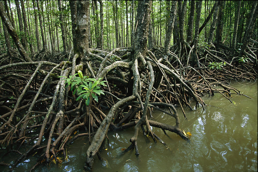 Detail Of Mangrove Roots At The Waters Photograph  - Detail Of Mangrove Roots At The Waters Fine Art Print