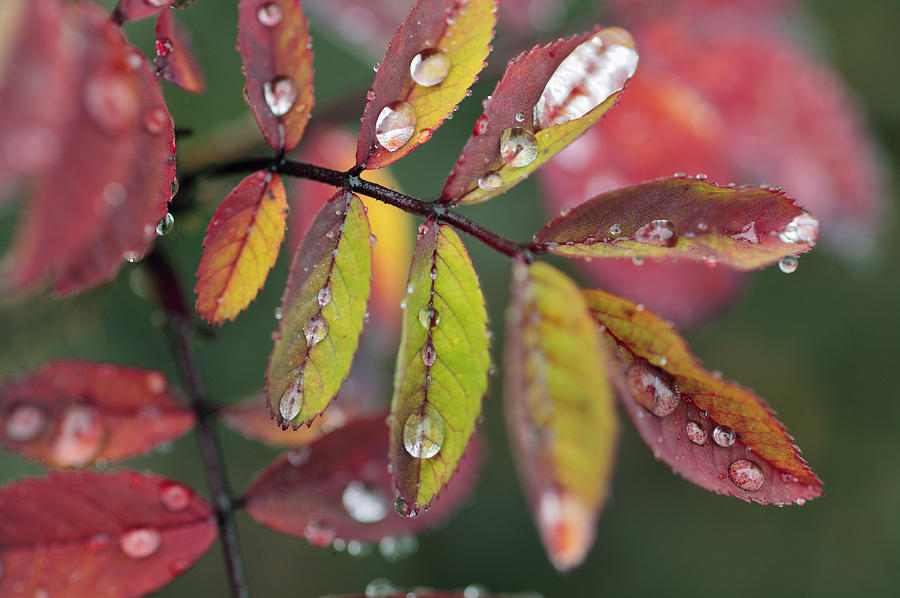 Dew On Wild Rose Leaves In Fall Photograph