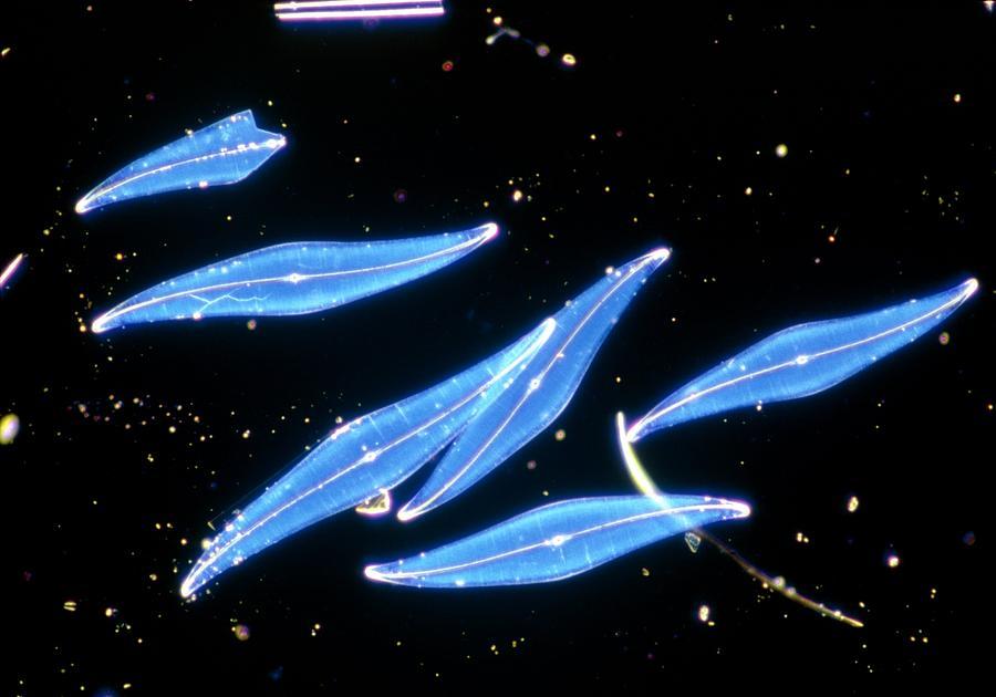 Diatom Pleurosigma Angulatum Photograph