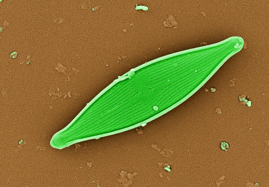 Alga Photograph - Diatom, Sem by Dr David Furness, Keele University