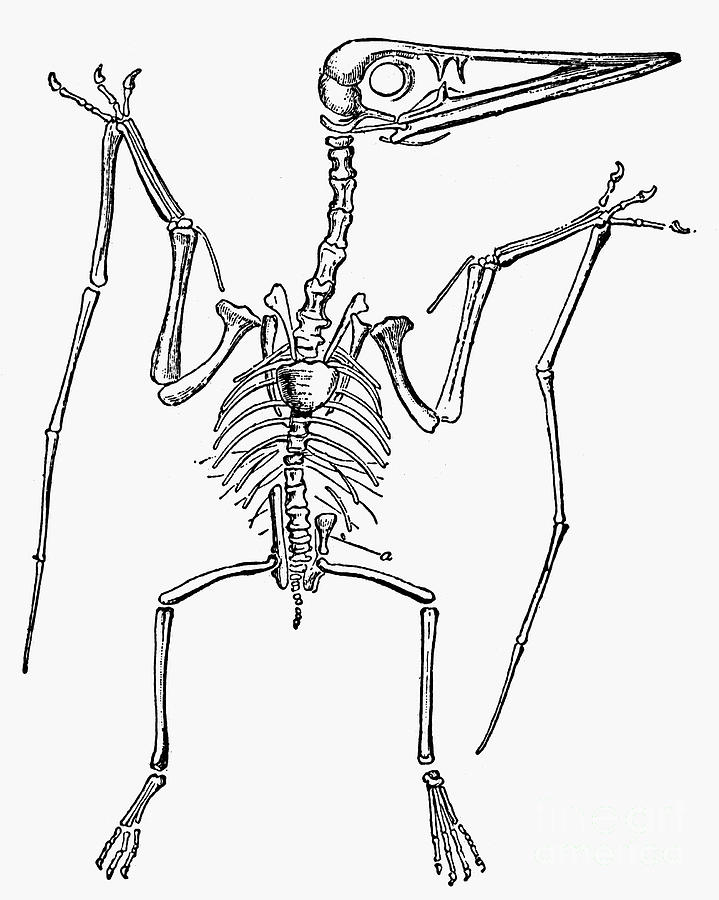 Pterodactyl Skeleton Images & Pictures - Becuo