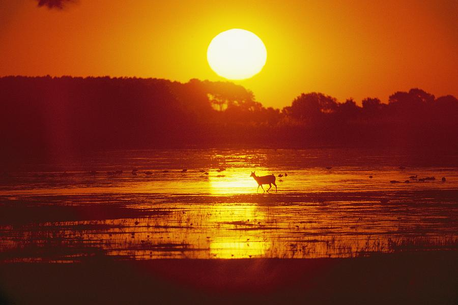 Distant Deer Silhouetted In A Marsh Photograph