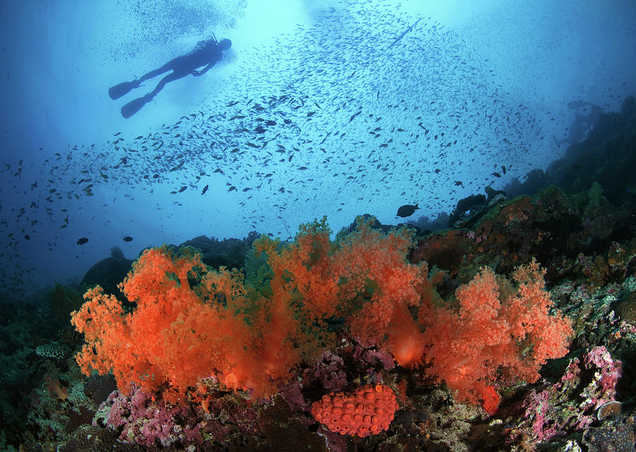 Diver And Soft Corals In Pescador Island Photograph  - Diver And Soft Corals In Pescador Island Fine Art Print