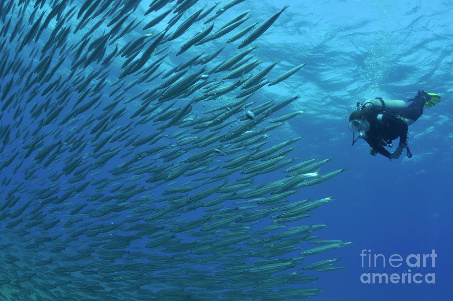 Diver Looking At Juveniles Barracuda Schooling Near Surface Photograph  - Diver Looking At Juveniles Barracuda Schooling Near Surface Fine Art Print