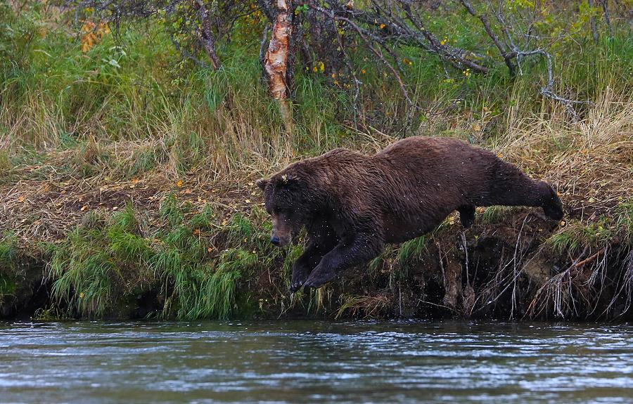 Diving Brown Bear Photograph  - Diving Brown Bear Fine Art Print