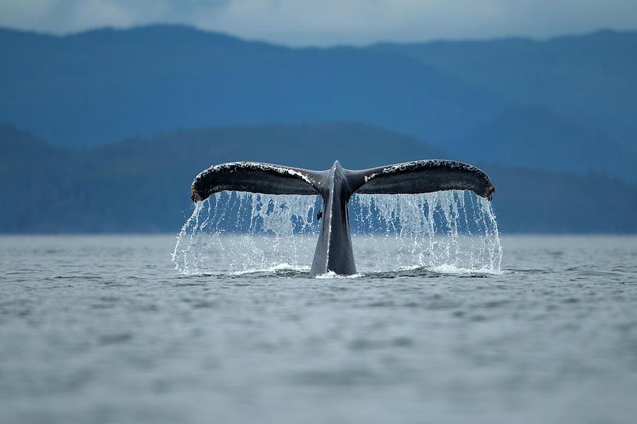 Horizontal Photograph - Diving Humpback Whale, Alaska by Paul Souders