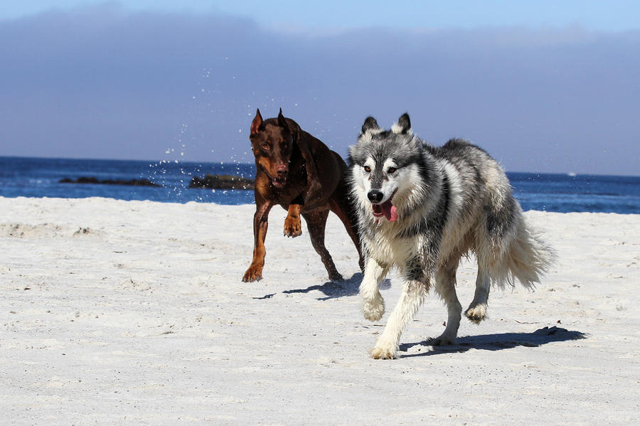 Doberman And Husky Play Photograph