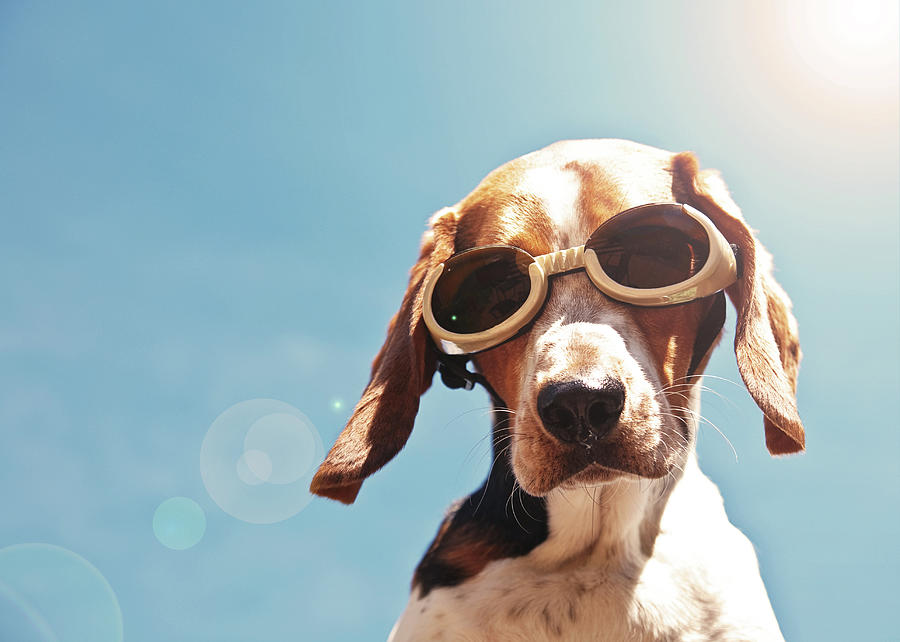 Horizontal Photograph - Dog In Goggles With Sun Flare by Darren Boucher