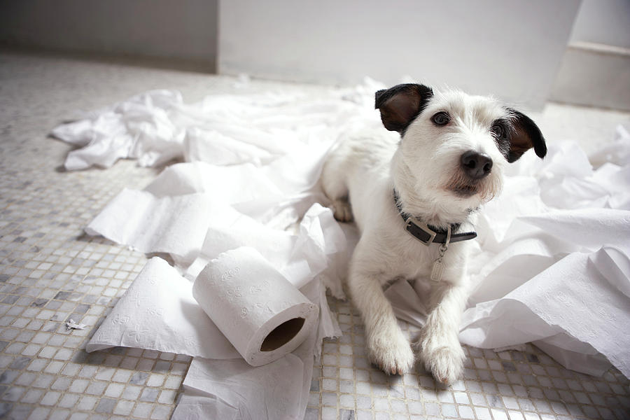 Dog Lying On Bathroom Floor Amongst Shredded Lavatory Paper Photograph  - Dog Lying On Bathroom Floor Amongst Shredded Lavatory Paper Fine Art Print