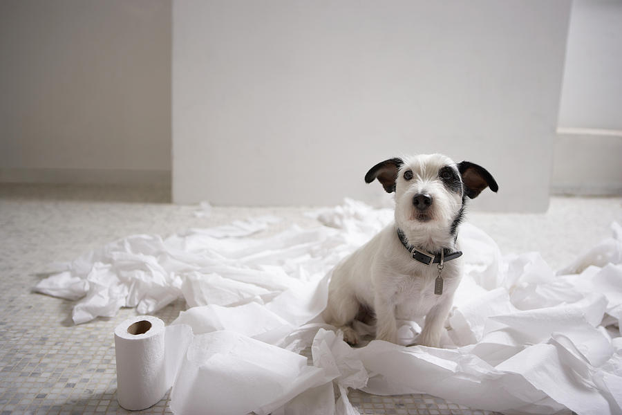Dog Sitting On Bathroom Floor Amongst Shredded Lavatory Paper Photograph  - Dog Sitting On Bathroom Floor Amongst Shredded Lavatory Paper Fine Art Print