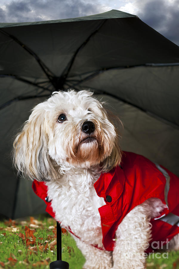 Dog Under Umbrella Photograph