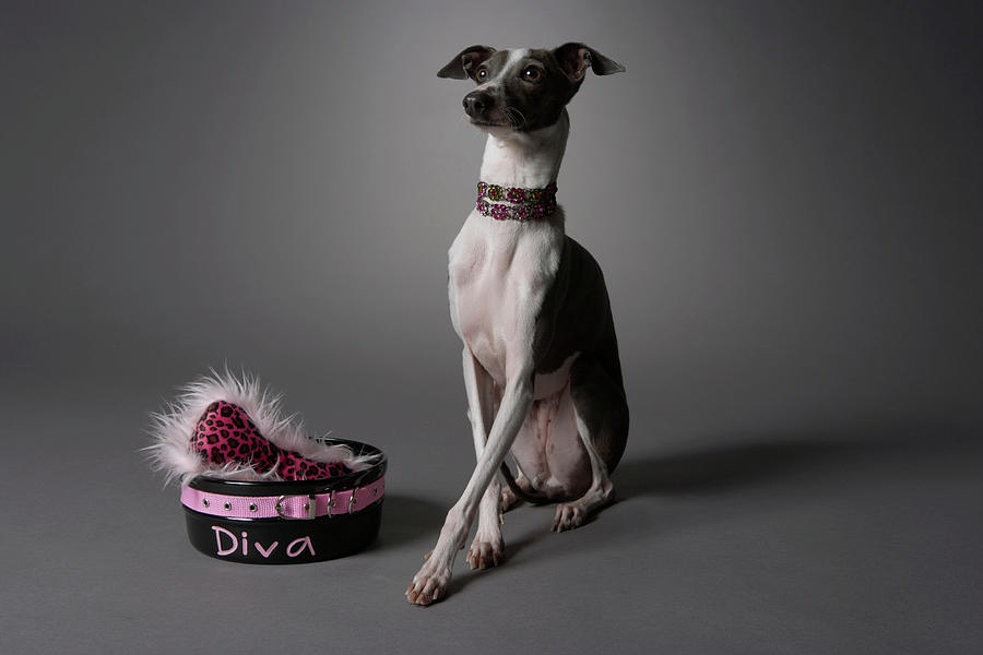 Dog With Diva Bowl Photograph  - Dog With Diva Bowl Fine Art Print