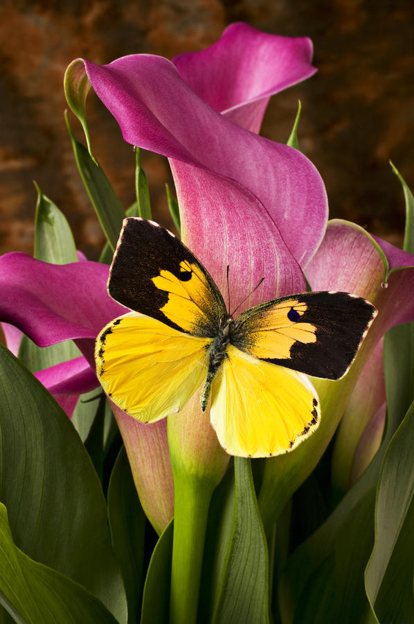 Dogface Butterfly On Pink Calla Lily  Photograph  - Dogface Butterfly On Pink Calla Lily  Fine Art Print