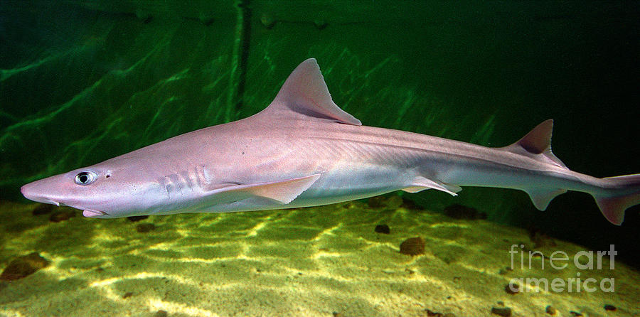 Dogfish Shark In Aquarium Photograph By Matt Suess