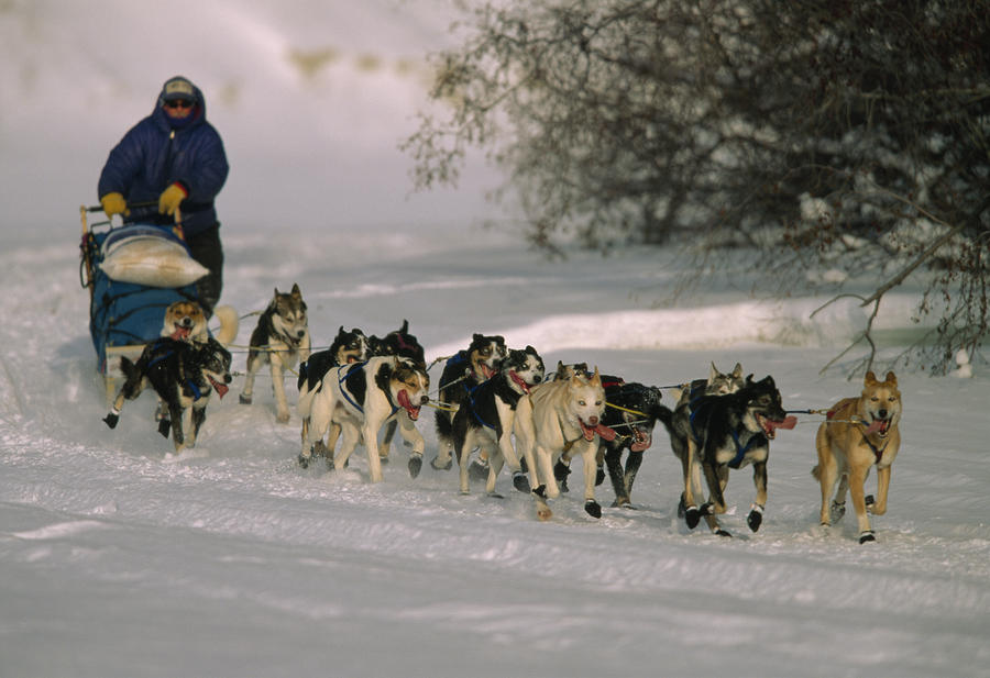 Dogs Pull A Sled Across Snow Photograph by Nick Norman