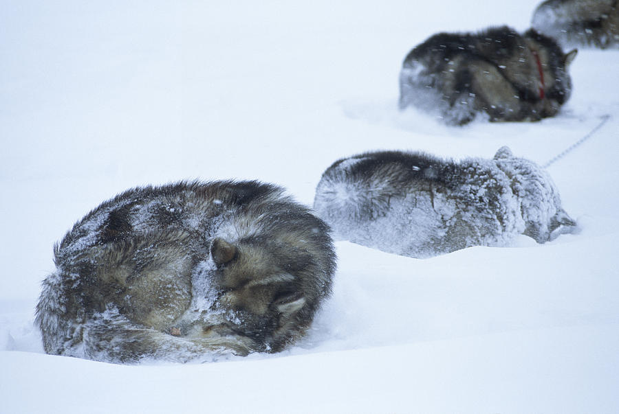 Color Image Photograph - Dogs Sleep In Blizzard On Frozen Ocean by Gordon Wiltsie