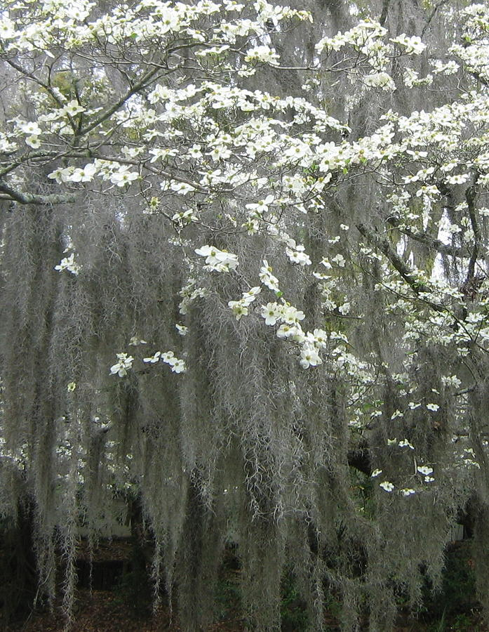 Dogwood And Spanish Moss Photograph  - Dogwood And Spanish Moss Fine Art Print