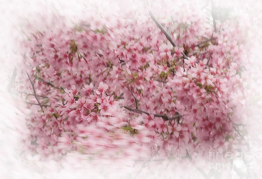 Dogwood In Motion Photograph