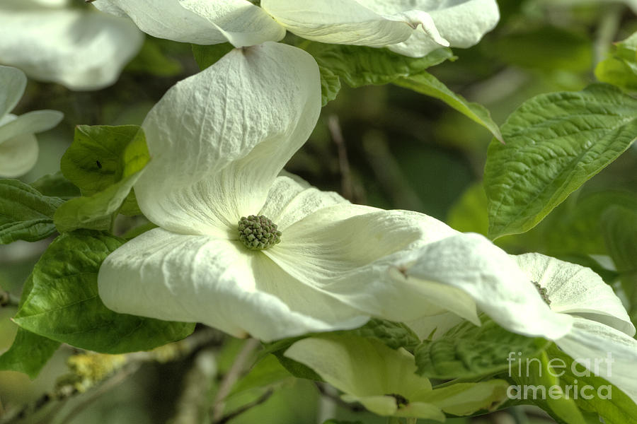 Dogwood Photograph - Dogwood by Rod Wiens