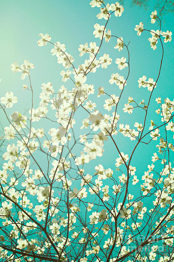 Dogwood Tree Photograph  - Dogwood Tree Fine Art Print