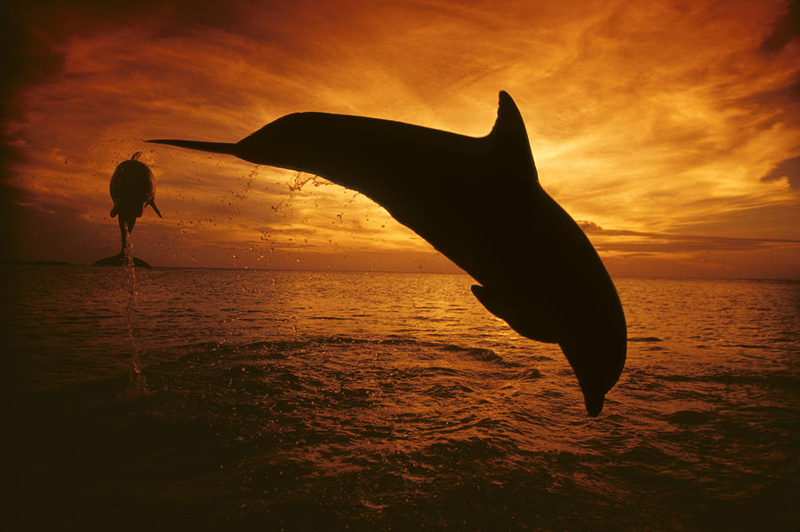 Dolphins And Sunset Photograph