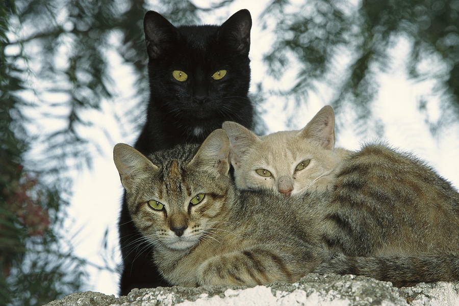 Domestic Cat Felis Catus Group Photograph  - Domestic Cat Felis Catus Group Fine Art Print