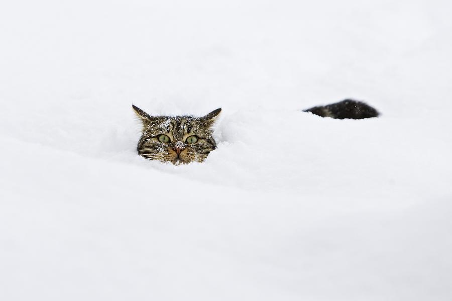 Domestic Cat Felis Catus In Deep Snow Photograph