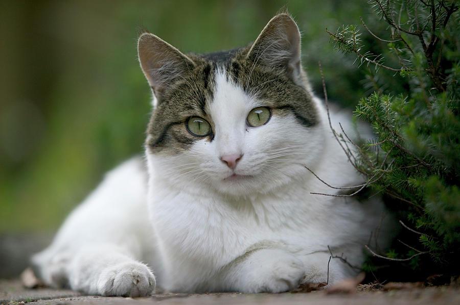 Domestic Cat Felis Catus Portrait Photograph