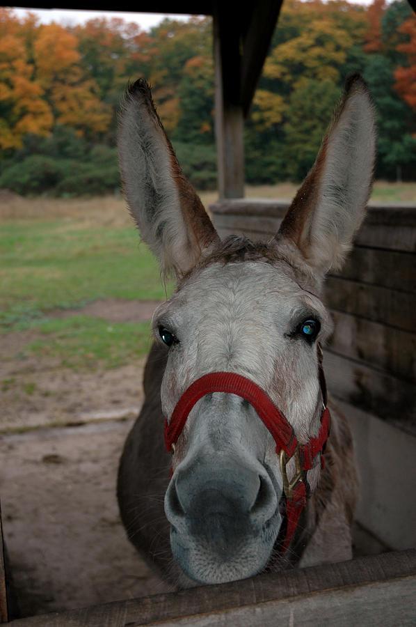 Donkey Blue Eyes Photograph