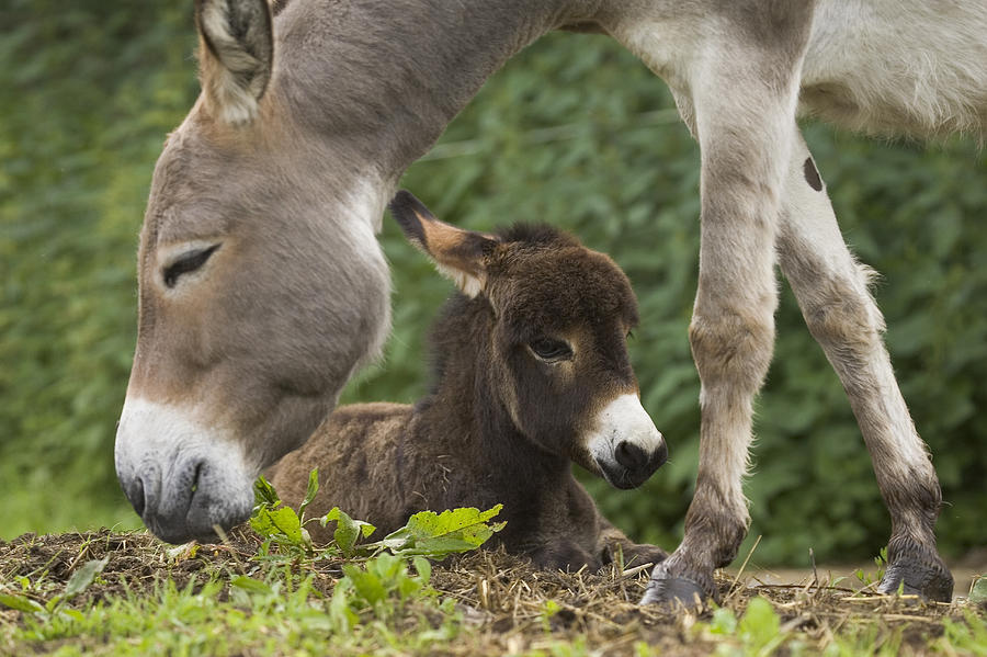 Donkey Equus Asinus Adult With Foal Photograph  - Donkey Equus Asinus Adult With Foal Fine Art Print