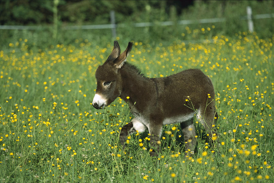 Donkey Equus Asinus Foal In Field Photograph