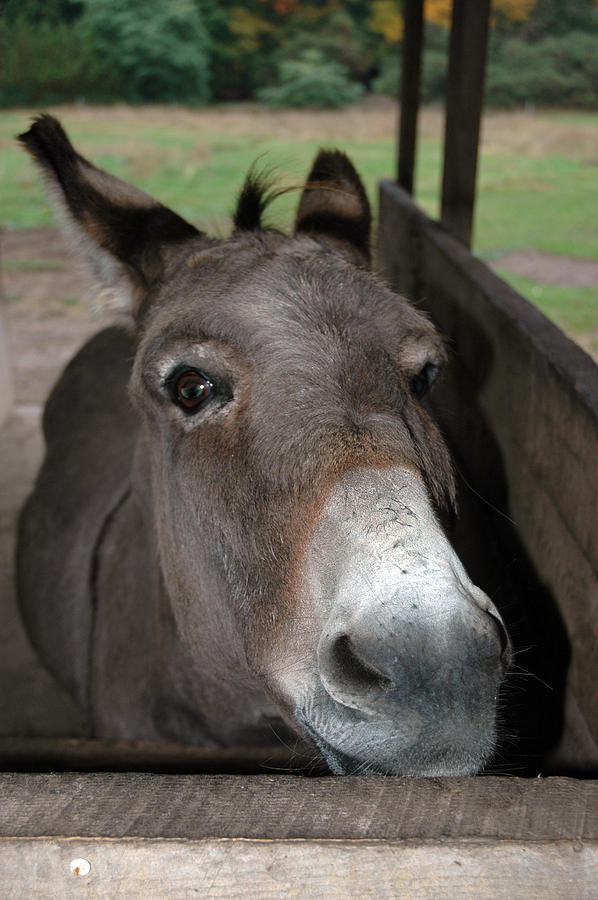 Donkey Eyes Photograph