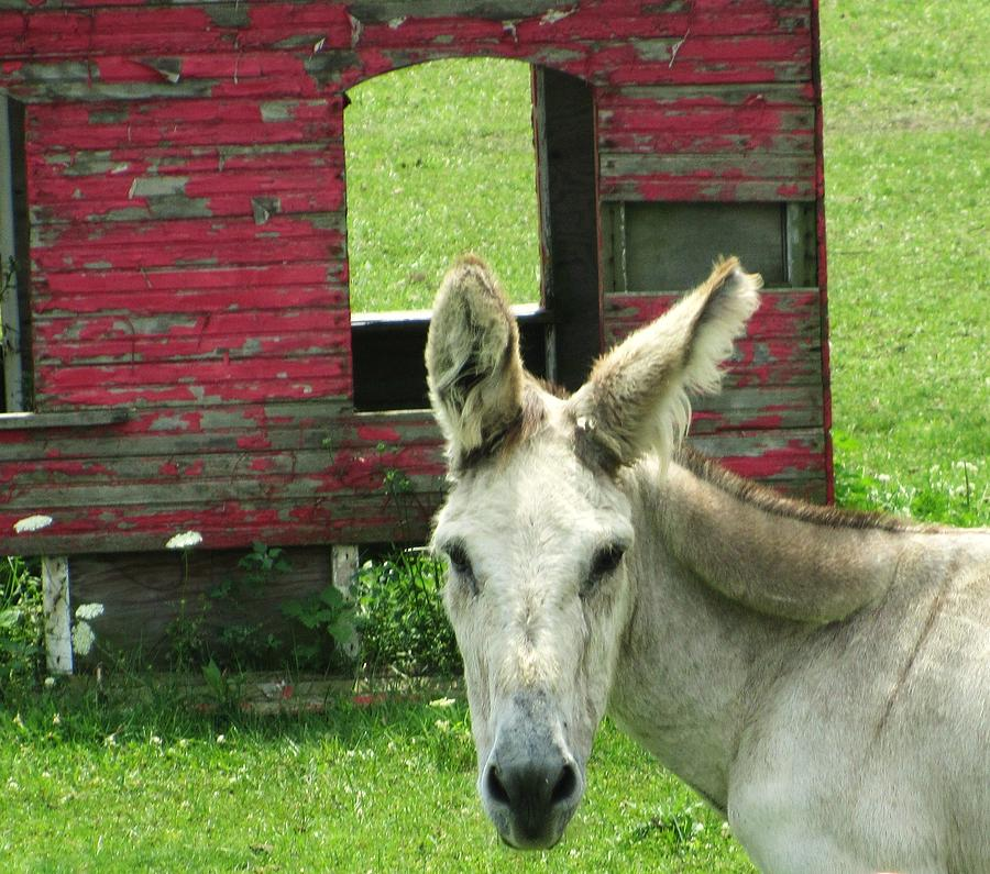 Donkey Photograph - Donkey by Todd Sherlock