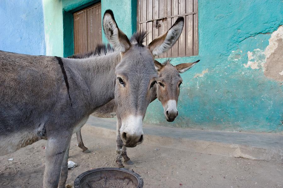 Donkeys, Harar, Ethiopia, Africa Photograph