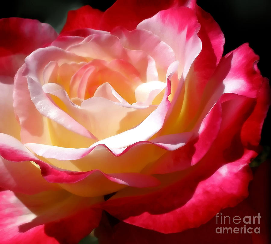 Double Delight Rose Photograph  - Double Delight Rose Fine Art Print