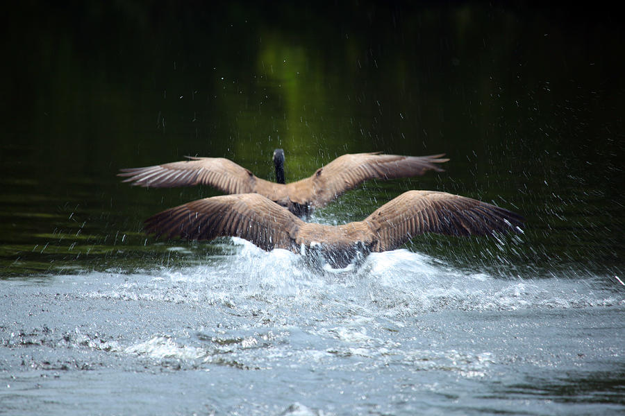 Flight Photograph - Double Landing by Karol Livote