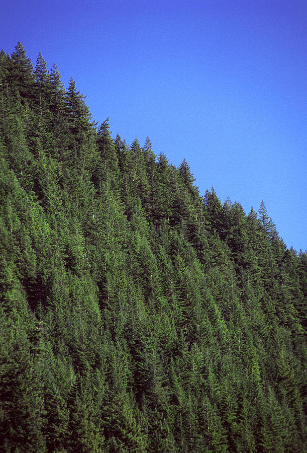 Douglas Fir Forest, British Columbia, Canada Photograph