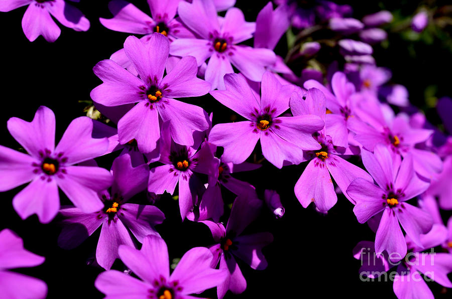 Downy Phlox Photograph  - Downy Phlox Fine Art Print