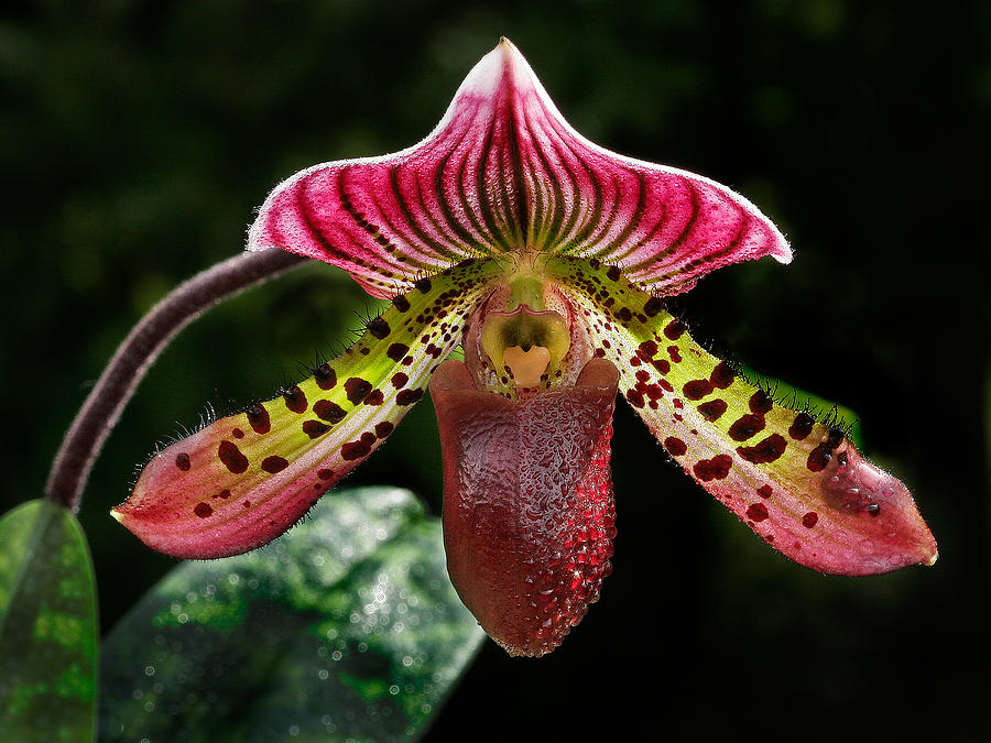 Dragon Orchid Photograph By Jean Noren