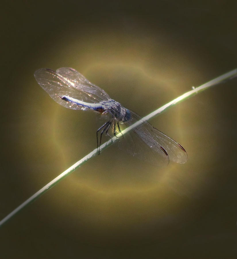 Insect Photograph - Dragonfly 1 by Judith Szantyr