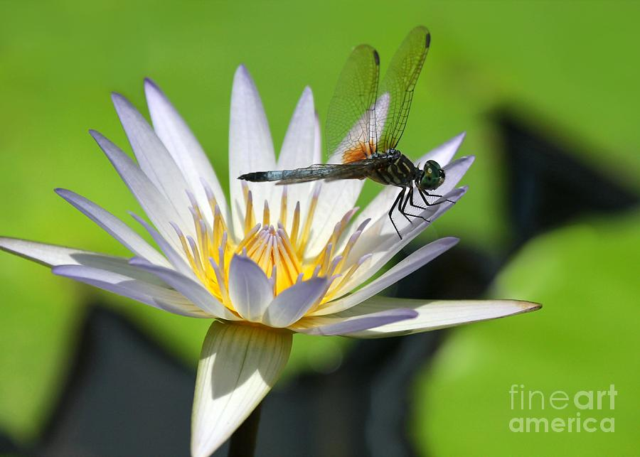 Dragonfly And The Water Lily Photograph
